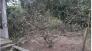 Cây đào đã trồng được 8 năm rất đẹp