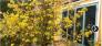 Mai Vàng 30 năm tuổi hoa nở đẹp và dày vào dịp Tết trưng bày rất sang trọng