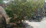 Cây Mai rừng nhà trồng lâu năm làm cảnh rất đẹp