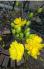 Mai vàng phước lộc thọ (120 canh)
