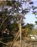 Cây sưa đỏ (quỳnh đàn) giống cây quý hiếm
