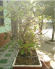 Vì sao nên chọn mua 1 chậu cây lộc vừng bonsai để trang trí ?