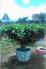 Cây Trà Xanh trang trí đẹp cho sân vườn