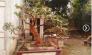 Cần gấp ra đi một số Cây Ổi cảnh bonsai nhỏ gọn