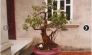 Cây Ổi cảnh bonsai nhỏ gọn trang trí làm kiểng rất sang trọng