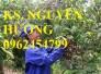 Chuyên cung cấp giống cây nhãn muộn miền Thiết Hưng Yên, nhãn muộn Hà Tây