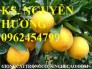 Chuyên cung cấp giống cây cam vinh chuẩn giống f1