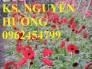 Chuyên cung cấp hoa đồng tiền, hoa đồng tiền nuôi cấy mô các màu số lượng lớn chất lượng cao
