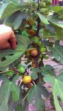 Hạt giống sung Mỹ- loại quả mới giúp thoát nghèo