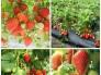 Hạt giống dâu tây nhập khẩu Nhật Bản