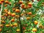 Chuyên cung cấp giống quýt đường thái lan, quýt thái lan, quýt đường, quýt thái lan, quýt thái