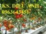 Chuyên cung cấp các loại hạt giống cà chua: Cà chua bi, Cà chua tím,