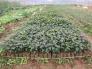 Chuyên cung cấp cây giống xạ đen, các sản phẩm từ xạ đen, cây xạ đen giống chuẩn