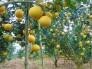 Chuyên cung cấp các loại cây giống bưởi diễn, cam kết chuẩn giống, giao cây toàn quốc.