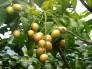 Giống cây quất hồng bì, chuẩn giống, giao cây toàn quốc.