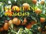 Chuyên cung cấp cây giống quýt đường thái lan, quýt ngọt, quýt đường miền bắc chuẩn giống f1, bảo hành cây giống, giao cây toàn quốc.