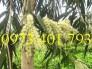 Giống cây Bạch đàn