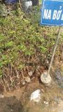 Cây giống na bở Đài Loan, giống cây na bở Đài Loan, cây na bở, na Đài Loan.