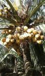 Dừa giống xiêm chuỗi