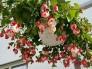 Hoa lồng đèn hồng