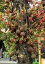 Cây hoa sala hoa siêu đẹp