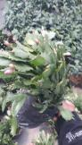 Hoa càng cua chậu lớn