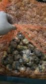 Chuyên cũng cấp các loại giống củ hoa trồng tết, củ hoa lay ơn trồng tết