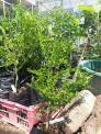 Địa chỉ cung cấp giống cây nhập khấu số lượng lớn, giống chanh ngón tay chất lượng