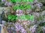 Linh sam siêu hoa