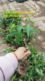 Chuyên cung cấp cây giống hoa đào tết: đào bích, đào phai, đào đỏ, đào bạch, đào tuyết số lượng lớn, uy tín, chất lượng