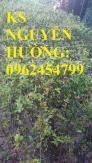 Cung cấp giống cây lựu lùn, lựu lùn ấn độ, lựu lùn ai cập, giao cây toàn quốc