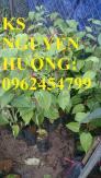 Cung cấp cây giống chanh leo ngọt colombia, chanh leo ngot, cung cấp cây giống toàn quốc