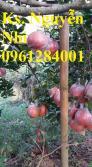 Cung cấp giống cây bưởi đỏ luận văn, bưởi đỏ tiến vua, bưởi đỏ, cây giống F1 chất lượng cao