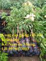 Giống cây vải không hạt uy tín chất lượng, số lượng lớn, giao hàng toàn quốc