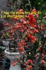 Cung cấp cây hoa mai đỏ chơi tết, hoa mai đỏ số lượng lớn