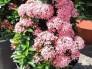 Bông trang hồng phấn đẹp