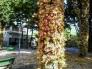 Cây hoa sala