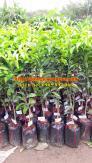 Cung cấp cây quýt thái lan, giống quýt đường thái, giống quýt PQ, giống quýt thái lan