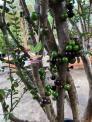 nho thân gỗ trái dày đặc dễ trồng