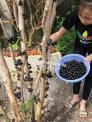 Cách trồng và chăm sóc cây nho thân gỗ quý hiếm được săn lùng thế giới