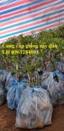 Chuyên cung cấp giống cây đào bạch, đào phai, đào bích, hoa đào cánh kép, số lượng lớn