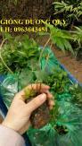 Cung cấp cây giống, hạt giống sâm dược liệu sâm bố chính, sâm đương quy, sâm ngọc linh chuẩn, uy tín