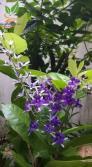 Hoa mai xanh, loài hoa đẹp kì ảo với sắc tím lavender dịu dàng
