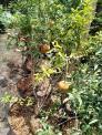 Cây lựu đỏ Ấn Độ đang sai trái