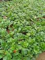 Cung cấp cây giống hoa đồng tiền nuôi cấy mô chất lượng cao