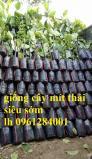 Chuyên cung cấp giống cây mít thái siêu sớm,  mít thái lá bàng, mít tứ quý, số lượng lớn