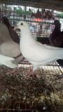 Bán Chim bồ câu Giống Pháp Thuần chủng Titan và Mimax