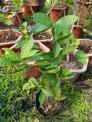 cây giống Hoa Mai Xanh cao 30-40cm