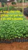 Chuyên cung cấp cây giống cà gai leo, hạt giống cà gai leo, giao cây toàn quốc
