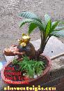 Dừa Bonsai hình trâu